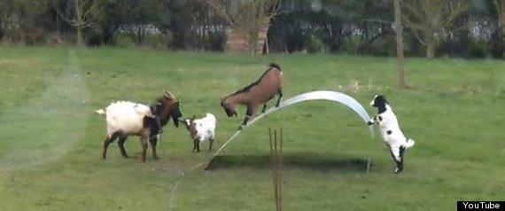 goats steel sheet bridge