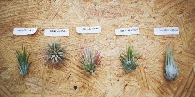how to care for air plants huffpost. Black Bedroom Furniture Sets. Home Design Ideas