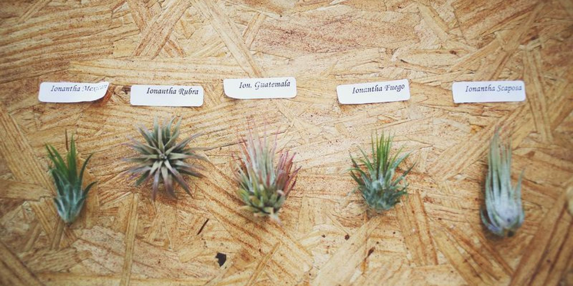 How To Care For Air Plants HuffPost