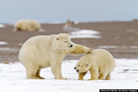 polar bears anwr