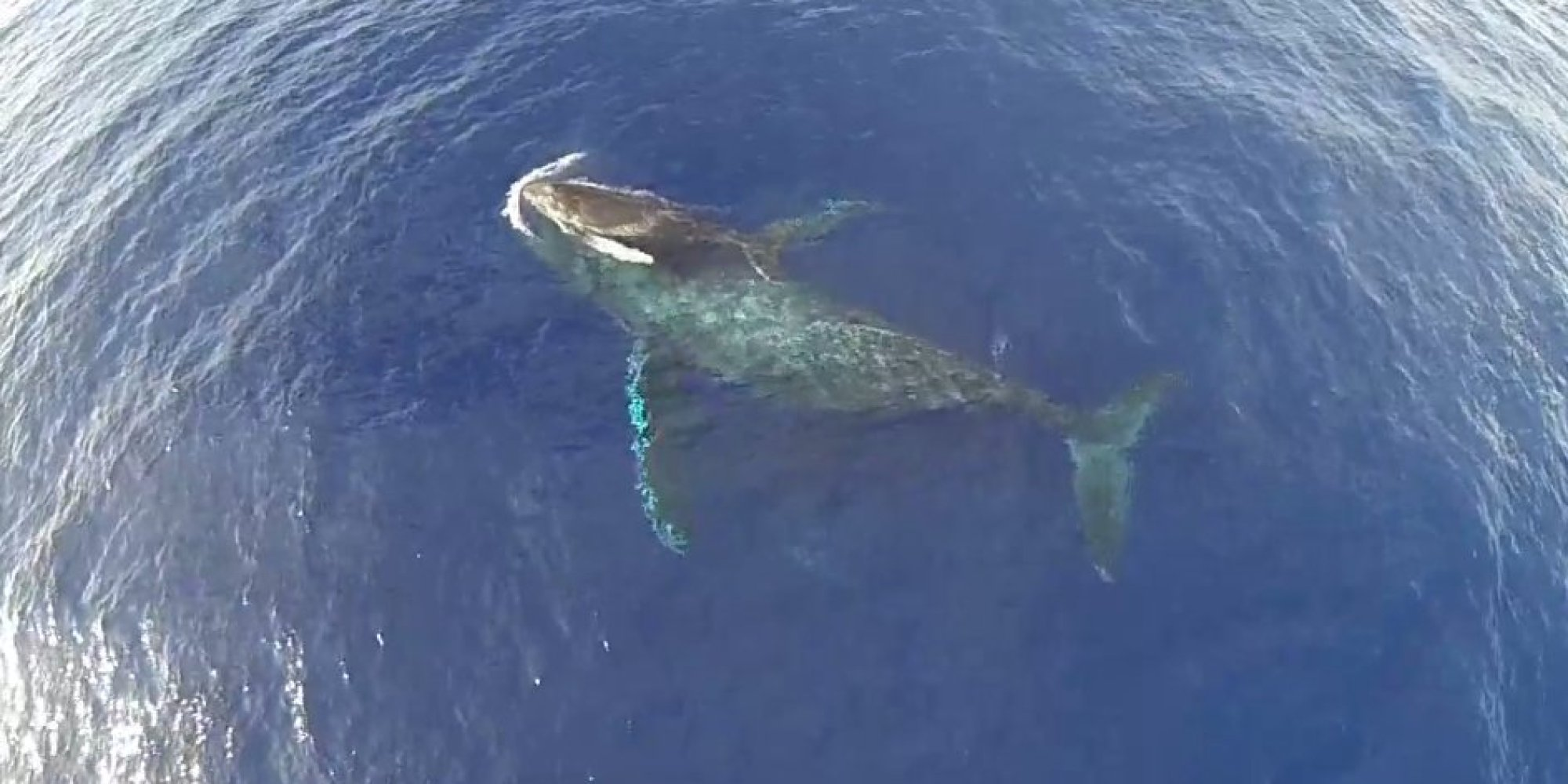 Baby humpback whales - photo#22