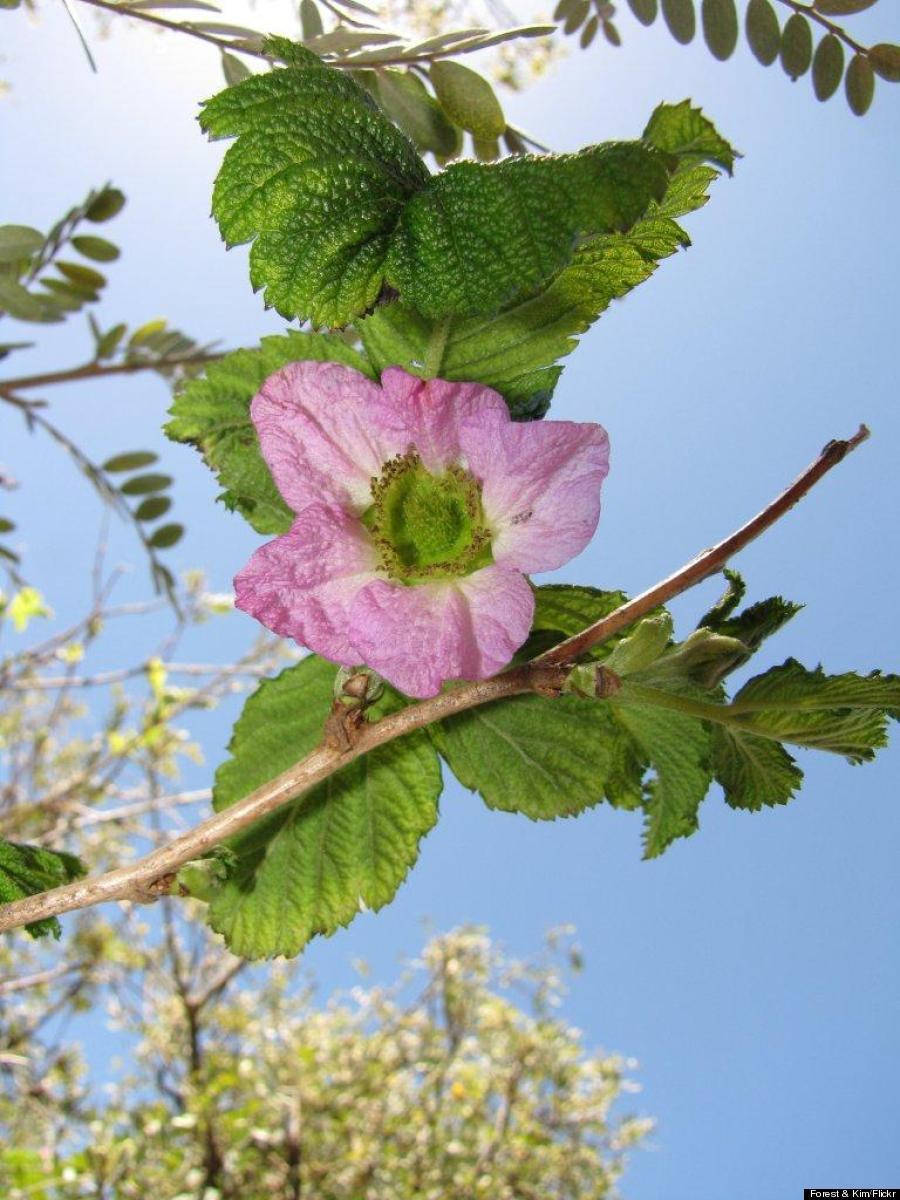 akala flower
