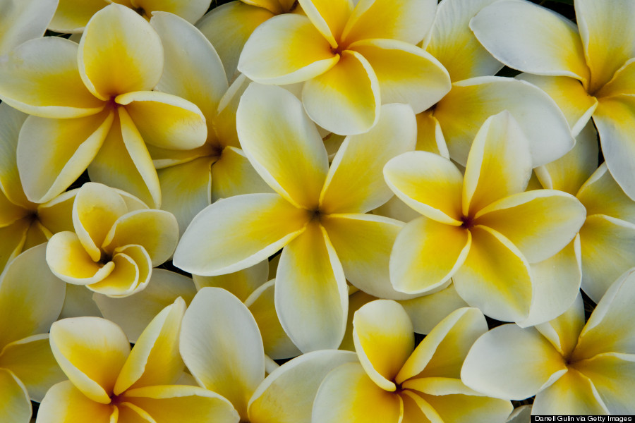 Hawaiis flowers are as intricate and alluring as their names huffpost plumeria mightylinksfo
