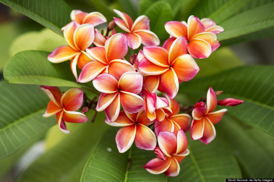 hawaii's flowers are as intricate and alluring as their names, Natural flower