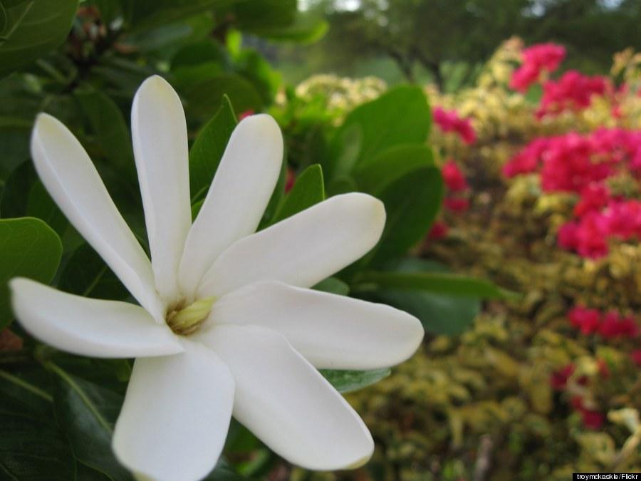 hawaii gardenia