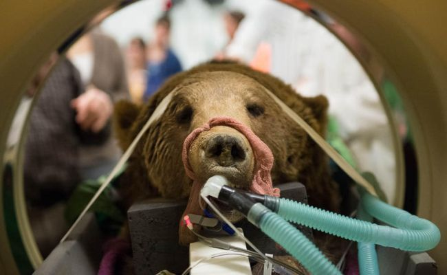 grizzly bear surgery