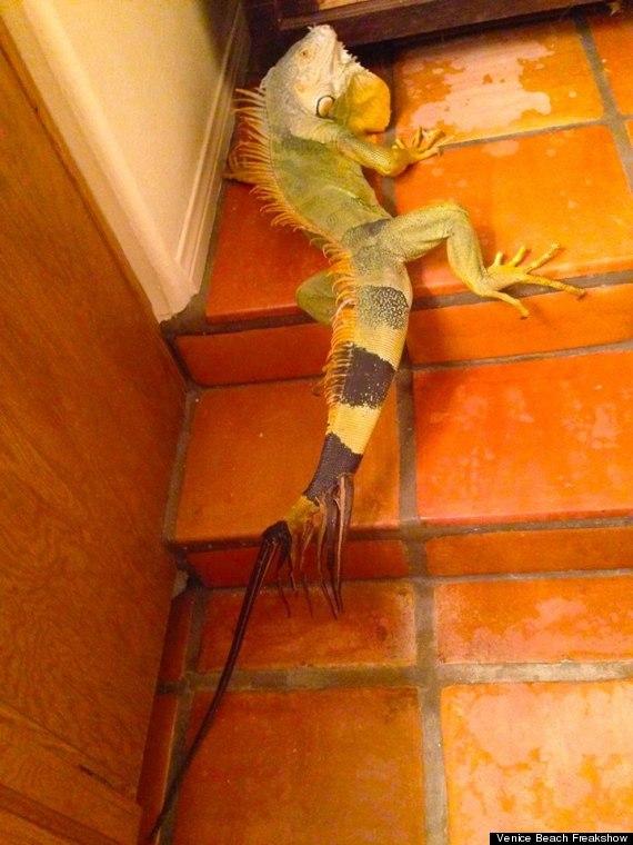 8tailed iguana