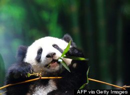 PHOTOS: Baby Panda Has A Midday Snack