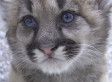 Rescued Cougar Cubs Thriving After Being Orphaned By A Hunter (VIDEO)