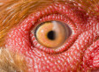 Scientists Look In Chicken's Eye And Discover Weird New State Of Matter