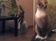 Cat Jumping Fails Are The Perfect Schadenfreude For 'Team Dog' (VIDEO)