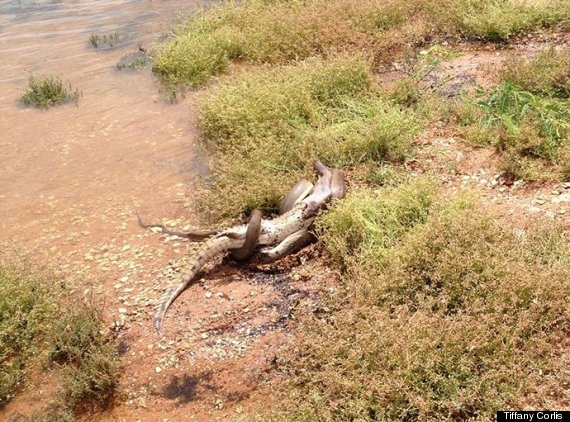 python eats crocodile