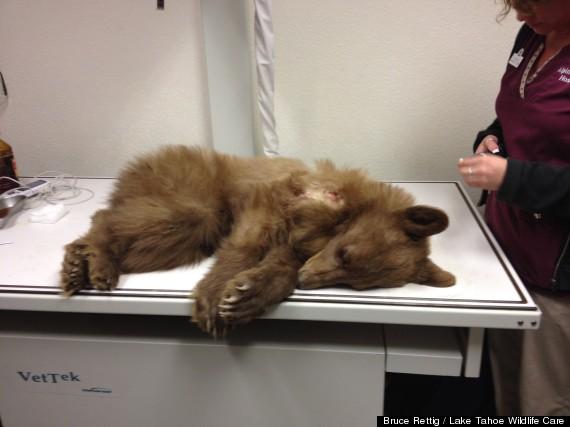 bear cub rescued 1