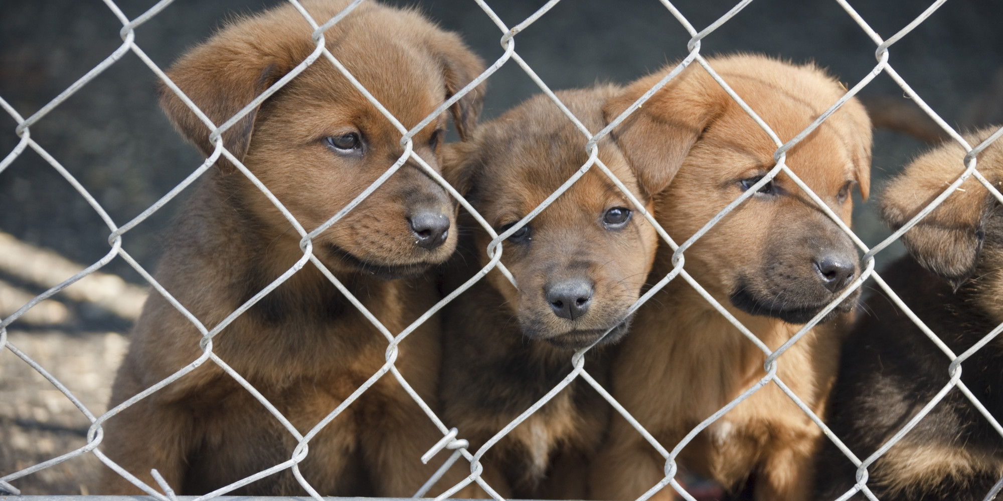 Chicago Bans Puppy Mill Sales At Pet Stores Huffpost