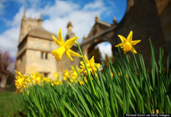 cotswolds daffodils