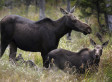 Is Climate Change Pushing Moose Into Extinction? (VIDEO)