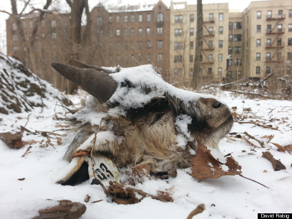 Severed Goat Head Found In Brooklyn's Prospect Park ...