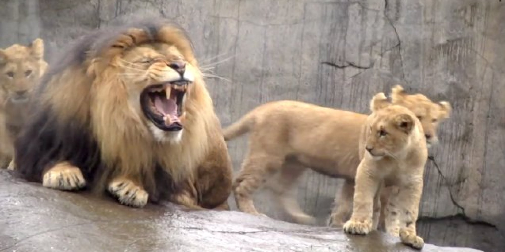 oregon zoo lion cubs meet their father