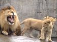 Lion Triplets Meet Dad For The First Time; Immediately Annoy The Hell Out Of Him