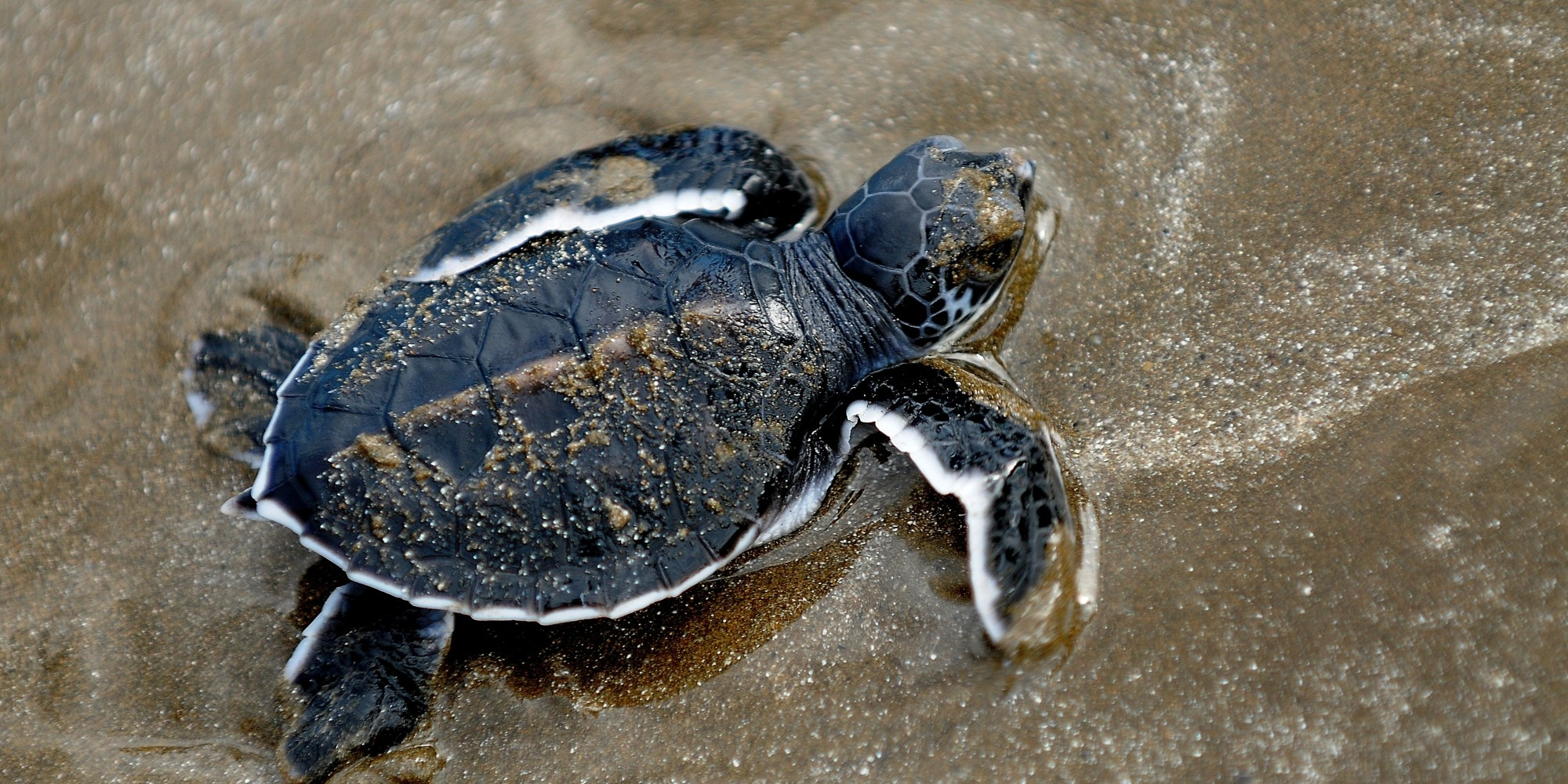 Cute baby sea turtles in the water - photo#5