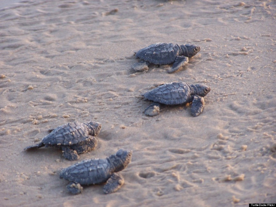 south padre island turtles