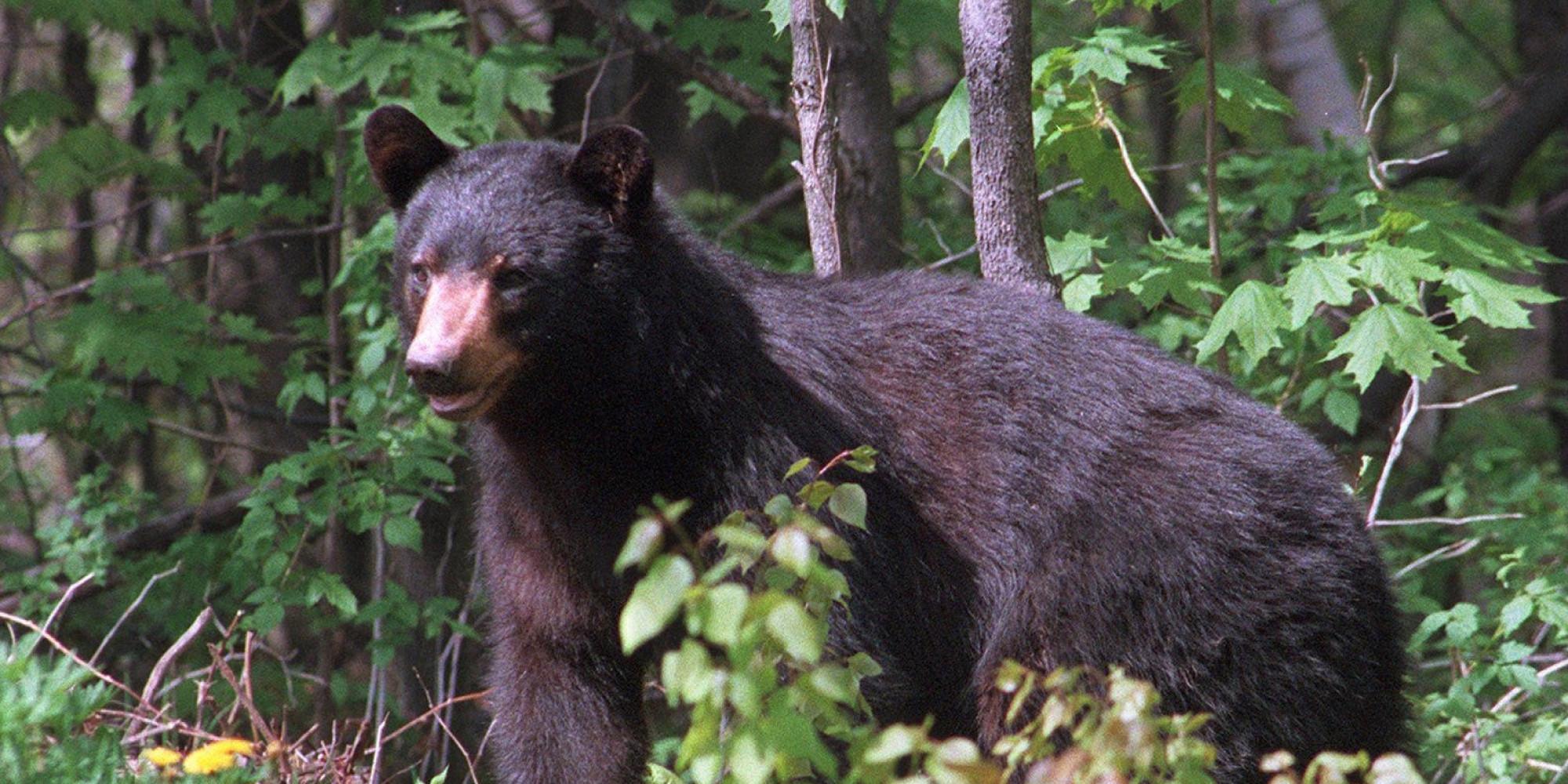 2 Michigan Men Charged With Poaching Black Bears, Buying ...