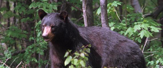 BLACK BEAR CANADA