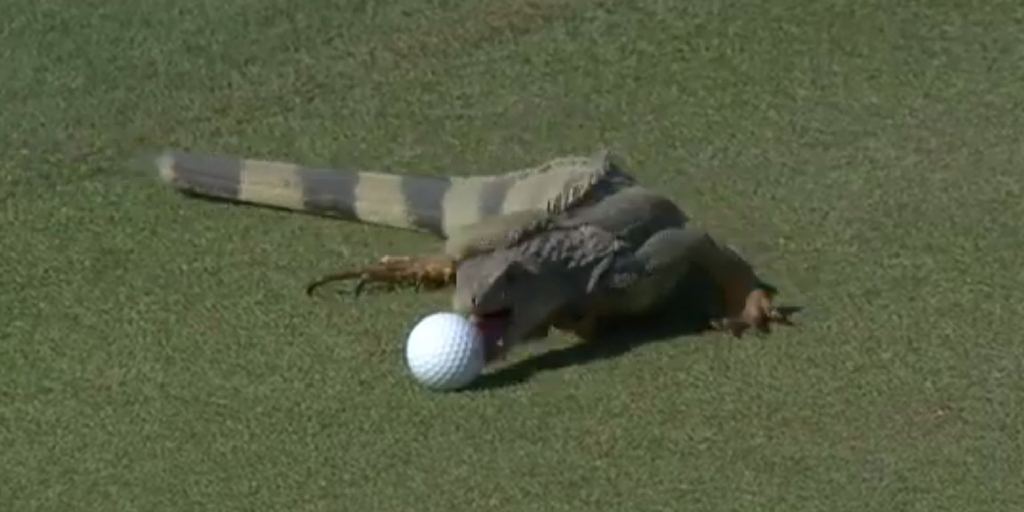 Iguana Attacks Golf Ball At Puerto Rico Open (VIDEO)