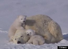 'Aww' Video Of The Day? These Polar Bear Cubs Playing With Their Mum