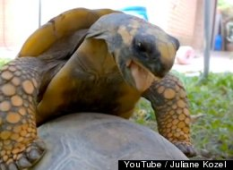WATCH: Tortoises Mating Video Shows Hare Is Beaten In More Than Just Racing