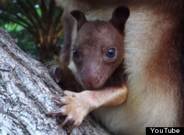 WATCH: Adorable Baby Tree Kangaroo Makes Her Debut