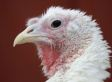 Abuse At Hybrid Turkeys:  Video Shows 'Culture Of Cruelty'