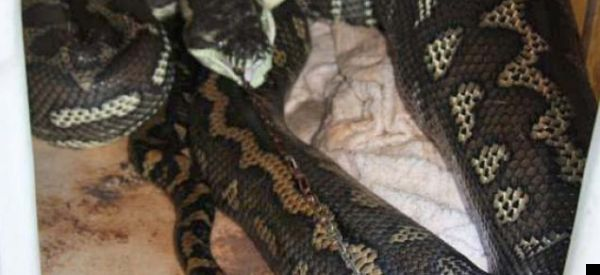 LOOK: Python Swallows Dog – Then Beds Down In Its Kennel With Lead Dangling From Its Mouth