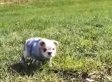 English Bulldog Puppy Loves Rolling Down Hills