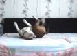 Hidden Camera Catches Dog Living The High Life On Forbidden Bed After Owner Leaves