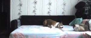 Dog Plays On Bed Hidden Camera