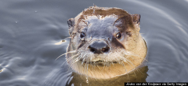 Otters Barges Into Fast Food Restaurant & 'Terrorises' Customers