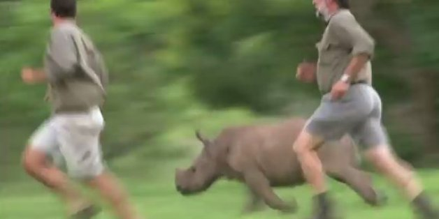 Orphaned Baby Rhino Loves To Run With Her Rescuers Video