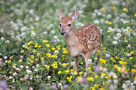 whitetailed deer baby