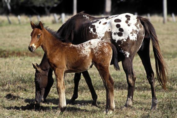 appaloosa horse baby