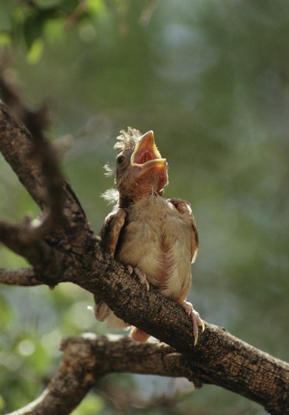 baby northern cardinal
