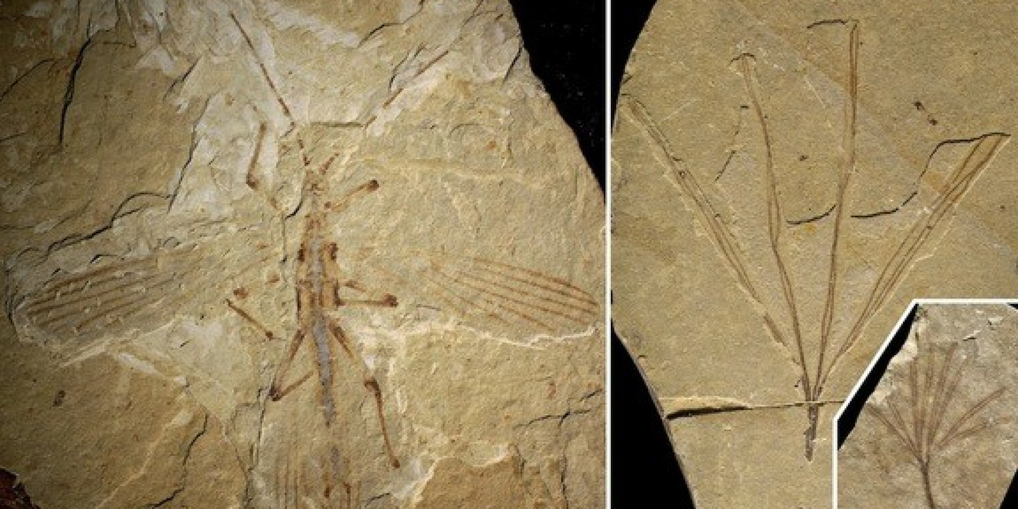 Insect Fossils on Mars Fossilized Stick Insect