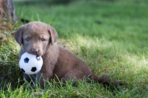 chesapeake bay retriever puppy