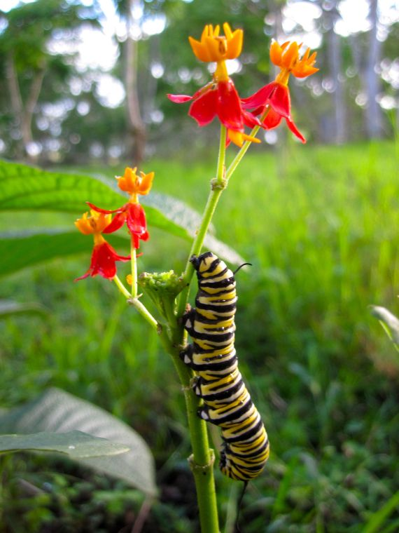 monarch butterfly baby