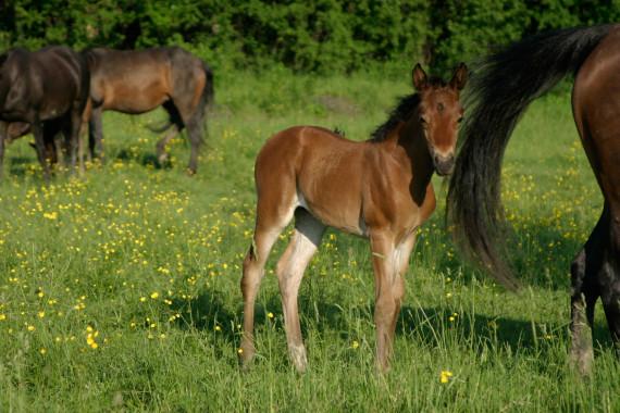 morgan horse baby