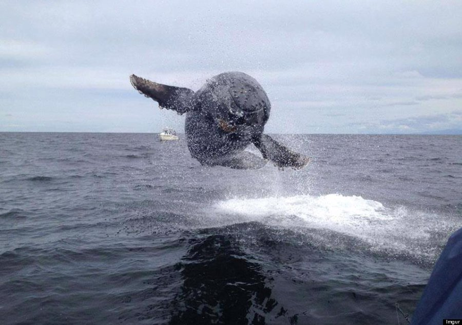 Whale 39 flies 39 towards boat in incredible picture snapped for Fly fishing maui