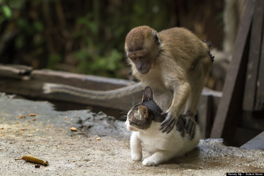 monkey massages cat