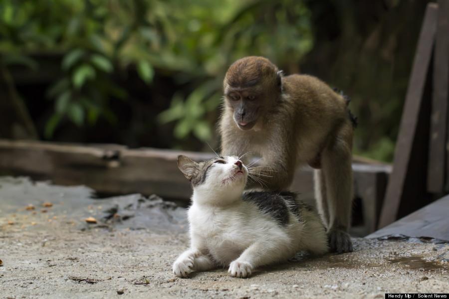 monkey massages cat