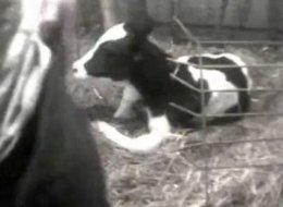 Conklin Dairy Farm Abuse