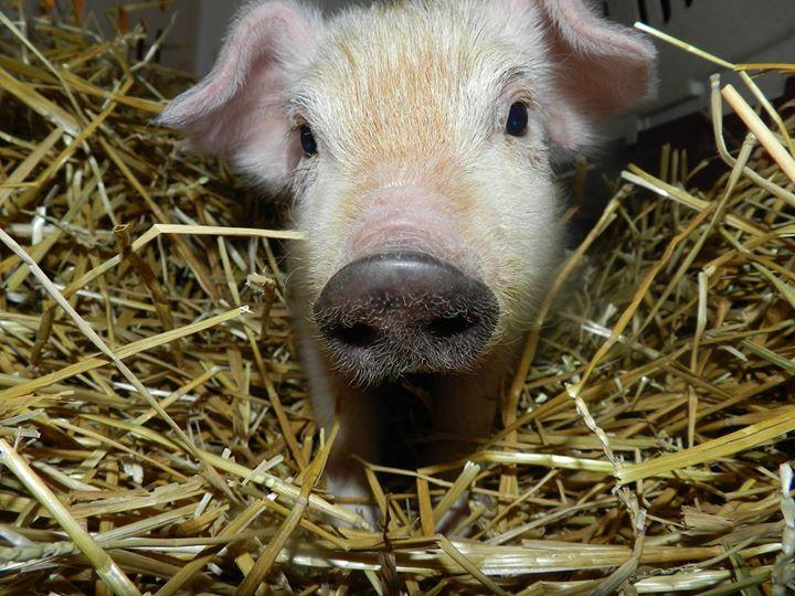 pig fell off truck